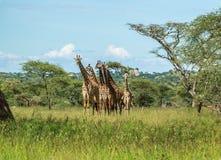 Табун жирафа Masai в национальном парке Serengeti Стоковые Фото