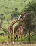 Табун жирафа, Serengeti, Танзании Стоковое фото RF