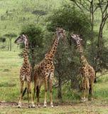 Табун жирафа, Serengeti, Танзании Стоковые Изображения RF