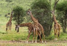Табун жирафа, Serengeti, Танзании Стоковое Фото