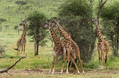 Табун жирафа, Serengeti, Танзании Стоковые Изображения