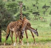 Табун жирафа, Serengeti, Танзании Стоковое Изображение