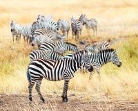 Табун зебры в Африке Стоковая Фотография