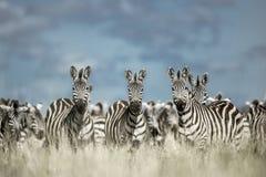 Табун зебры в одичалой саванне, Serengeti, Африки Стоковое Изображение RF