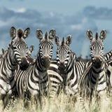 Табун зебры в одичалой саванне, Serengeti, Африки Стоковое фото RF