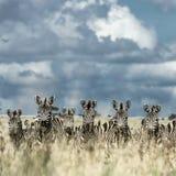 Табун зебры в одичалой саванне, Serengeti, Африки Стоковые Изображения RF
