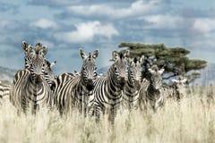 Табун зебры в одичалой саванне, Serengeti, Африки Стоковое Изображение