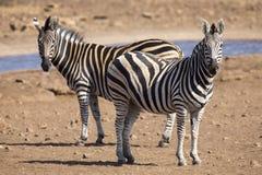 Табун зебры в фото цвета стоя на waterhole Стоковые Фото