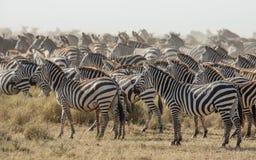 Табун зебры в Serengeti, Танзании равнин Стоковое Изображение RF