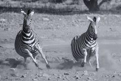 Табун зебры исчезая от опасности на пылевоздушном waterhole художническом co Стоковые Изображения