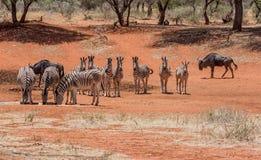 Табун зебры на водопое Стоковая Фотография
