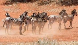 Табун зебры на водопое Стоковые Изображения RF