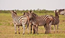 Табун зебры на равнине травы Стоковые Изображения