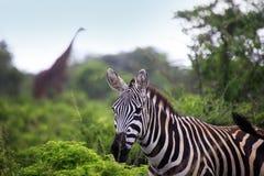 Табун зебры на саванне Стоковая Фотография