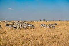 Табун зебры пася в африканском злаковике, национальном парке Найроби Стоковые Изображения RF