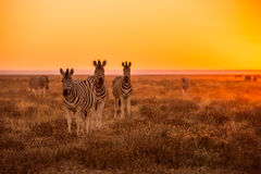 Табун зебры пася Стоковое Изображение