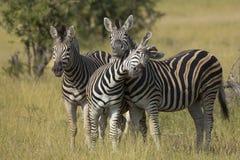 Табун зебры равнин (burchellii Equus) в Южной Африке Стоковое Фото