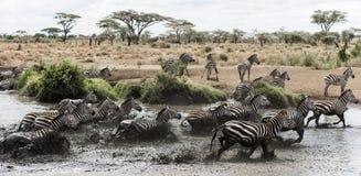 Табун зебры скакать в реке, Serengeti, Танзании Стоковое фото RF