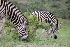 Табун зебры Стоковая Фотография