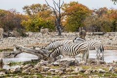 Табун зебры ` s Burchell выпивая на waterhole Стоковая Фотография
