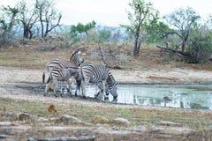 Табун зебр выпивая от waterhole в кусте Сафари в национальном парке Kruger, главное назначение живой природы перемещения на юге Стоковые Фото