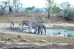 Табун зебр выпивая от waterhole в кусте Сафари в национальном парке Kruger, главное назначение живой природы перемещения на юге Стоковая Фотография RF