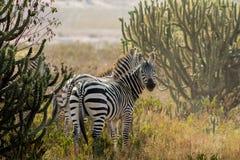 Табун зебр в саванне Стоковая Фотография