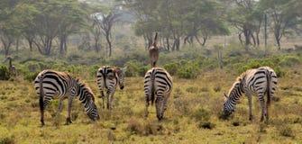 Табун зебр в саванне Стоковые Изображения