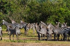 Табун зебр в Serengeti Танзания, Африка Стоковые Фотографии RF