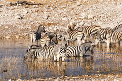 Табун зебр в waterhole в Намибии стоковое фото rf