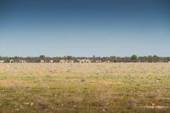 Табун зебр идя на etosha Намибия вышесказанного стоковая фотография