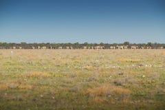 Табун зебр идя на etosha Намибия вышесказанного стоковые изображения