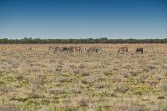 Табун зебр идя на etosha Намибия вышесказанного стоковое фото rf