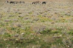 Табун зебр идя на etosha Намибия вышесказанного стоковые фотографии rf