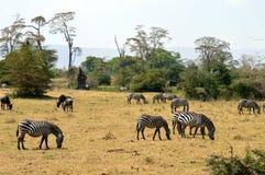 Табун зебр и антилопы гну стоковые фотографии rf