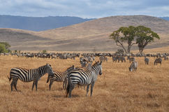 Табун зебр и гну стоковое изображение