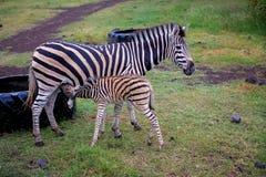 Табун зебр и страуса в диком в парке стоковые изображения rf
