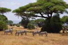 Табун зебр на африканской саванне Стоковые Фотографии RF