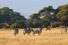 Табун зебр на африканской саванне Стоковая Фотография RF
