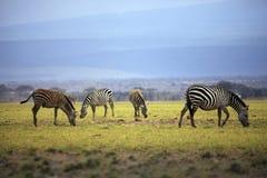 Табун зебр на саванне Стоковые Фотографии RF
