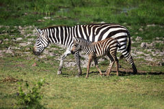 Табун зебр на саванне Стоковые Изображения