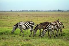 Табун зебр на саванне Стоковая Фотография RF