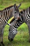 Табун зебр на саванне Стоковое фото RF