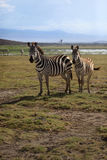 Табун зебр на саванне Стоковое Изображение