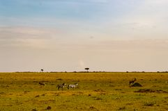 Табун зебр пася в саванне парка Maasai Mara в Ke стоковое изображение