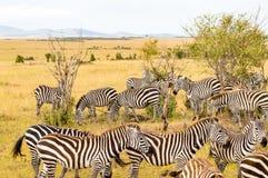 Табун зебр пася в саванне стоковые фотографии rf