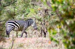Табун зебр пася в саванне стоковая фотография rf
