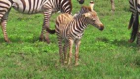 Табун зебр с младенцем сток-видео