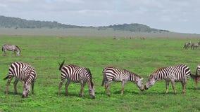 Табун зебр с немногим сток-видео
