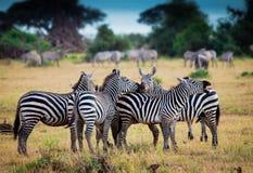 Табун зебр Стоковая Фотография RF